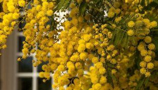 Mimosa: consigli utili per conservarla