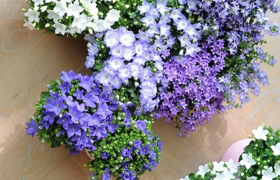 fiori per balconi primavera