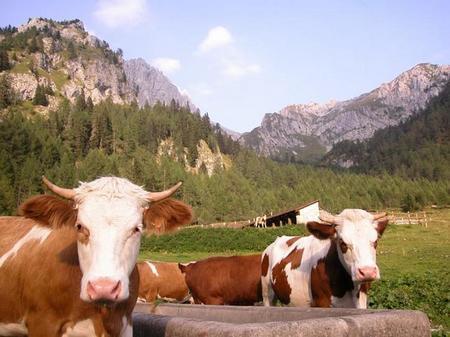 Latte crudo mucche al pascolo
