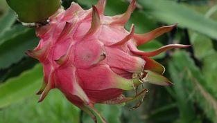 Pitaya, frutto del drago