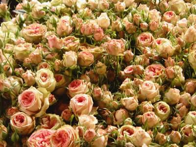 Rose fiori di maggio adatti per decorare giardini e balconi for Tipi di schierandosi per le case