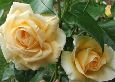 Rose: fiori di maggio adatti per decorare giardini e balconi