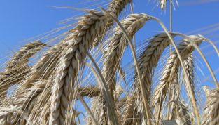 Triticale: scopriamo i benefici di questo cereale innovativo