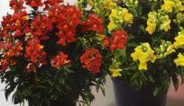 Bocca di leone: pianta decoartiva con fiori colorati molto originali