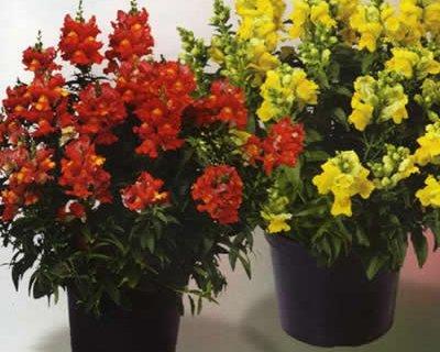 Bocca di leone pianta decoartiva con fiori colorati molto for Bocca di leone in vaso