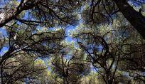 L'albero più vecchio del mondo in California