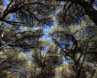 In California esiste l'albero più vecchio del mondo