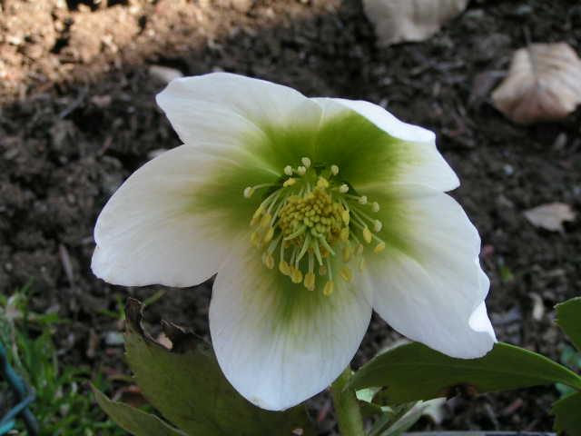 Piante velenose for Elleboro bianco