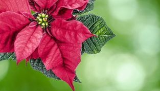Tradizioni di Natale: la Stella di Natale