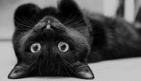 Gatto: animale domestico misterioso e affascinante