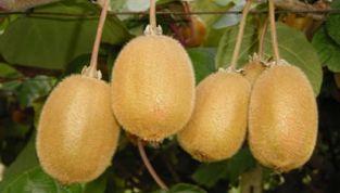 Kiwi, prezioso frutto ricco di vitamina C