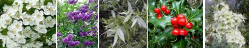 Biancospino, lillà, salice bianco, agrifoglio e prugnolo
