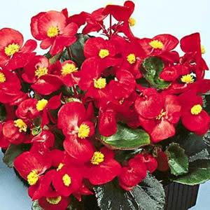 Begonia una pianta resistente per avere un balcone fiorito for Begonia pianta