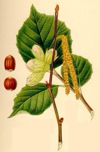 Pianta nocciolo Corylus avellana