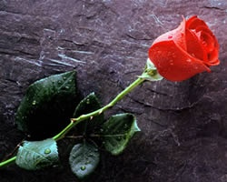 Leggenda di San Valentino: la rosa della riconciliazione