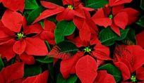 Come curare le piante natalizie
