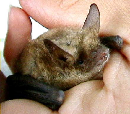 Pipistrelli anti zanzare