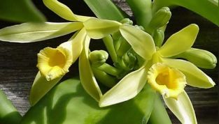 Vaniglia, l'aroma poliedrico