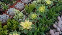 Piante succulente: giugno è il mese dedicato a queste piante grasse