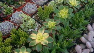 Giugno: Piante Succulente