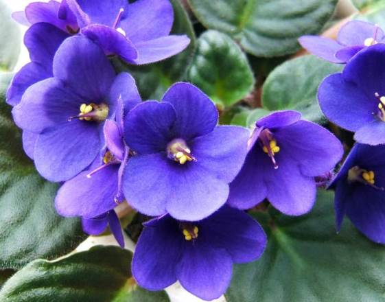 Agosto Saintpaulia violetta africana