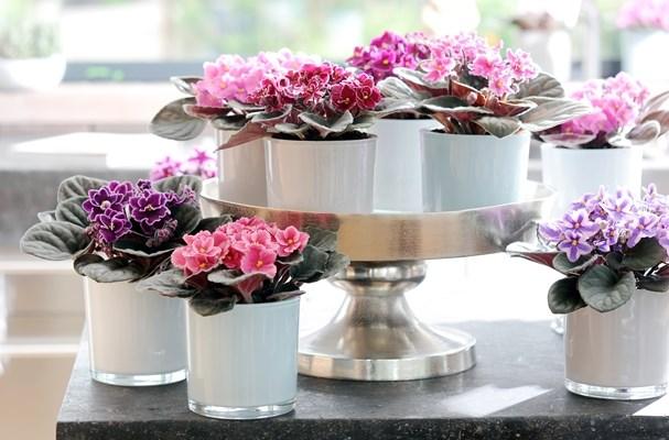 La pianta d 39 agosto la saintpaulia o chiamata violetta for Violetta africana