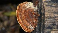 Ganoderma lucidum, il fungo curativo