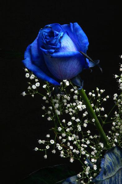 Rosa Blu Scoperto Il Gene Per Ottenerla