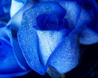 Rosa blu: scoperto il gene per ottenerla