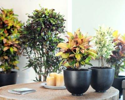 Croton, pianta elegante e colorata
